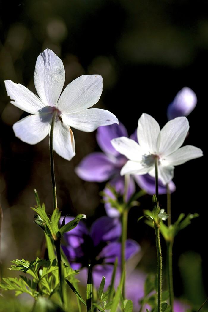 Toroslar ve Nadide Çiçekleri